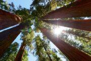«Тропа великанов» - экскурсия из Лос-Анджелеса в национальный парк «Секвойя» (фото 6)
